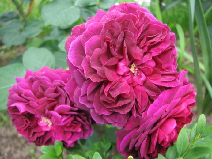фото и описание розы фишерман