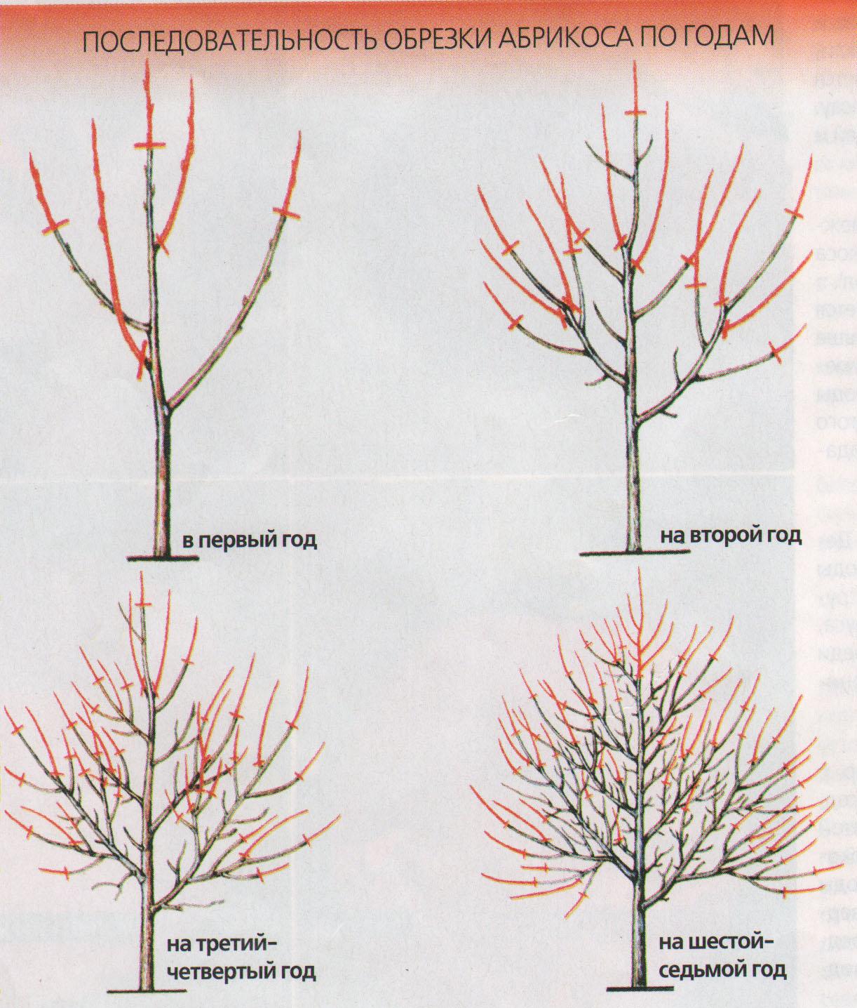 Рис 2 лучшие формы кроны для дерева