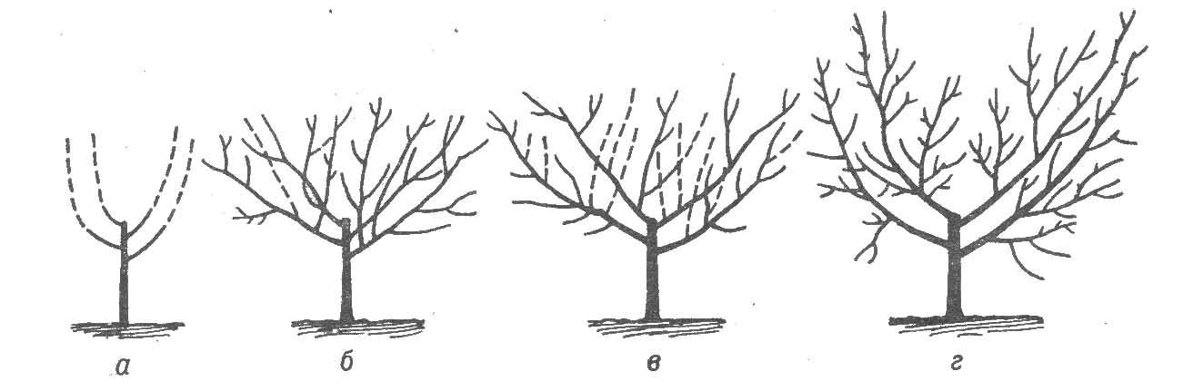 Рисунок 1. Вазоподобная (чашевидная) крона: а - обрезка после посадки; б - весной второго года; в - весной...